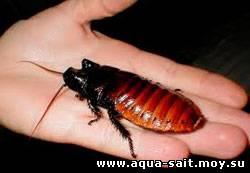 Re: Мадагаскарские шипящие тараканы.  Записан.  Ответ 2.
